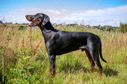 Vászonkép Young black Dobermann in wildflower meadow