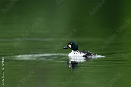 Photo Common goldeneye swimming in a lake