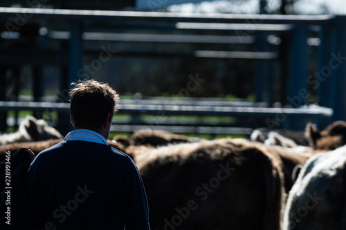 Photo  Cattle portraits