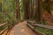 Cathedral Grove Of Redwood Tre...
