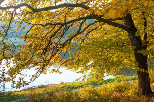 Fototapety, obrazy: Autumn in the park / autumn oak near the lake