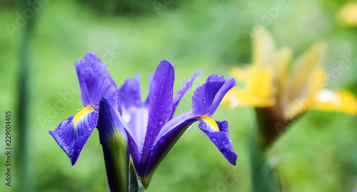 Blue yellow Iris flower