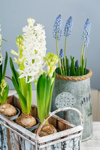 White Hyacinths And Muscari Flowers.