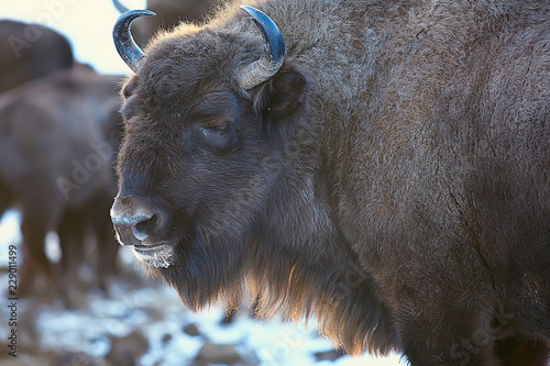 Spoed Foto op Canvas Bison Aurochs bison in nature / winter season, bison in a snowy field, a large bull bufalo