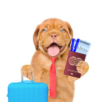 Funny Puppy With Tie Holds Sui...