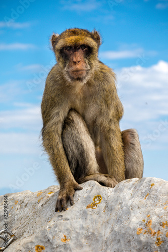 Tuinposter Aap The famous apes of Gibraltar