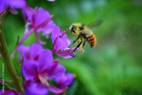 Bumble bee (Bombus huntii, Hymenoptera, Apidae, Bombinae) collecting pollen and Fototapeta