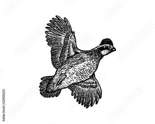 Fotografiet Hand Drawn Animal Vector Flying Bobwhite Bird Sign Symbol Icon Logo Template Des
