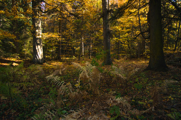 Beautiful autumn forest with sun rays at sunset yellow leaves and pine trees with fir
