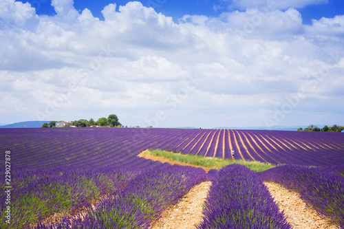 Foto op Aluminium Snoeien The flowering of lavender in Provence. France. Focus concept.