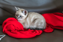 Little Cat Over A Red Blanket