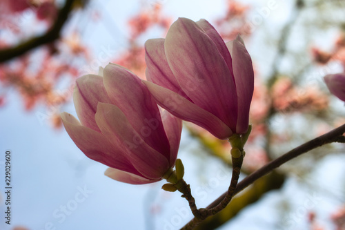 View of flowering magnolia tree in the spring garden on the blue sky background
