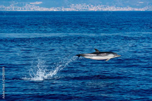Striped happy Dolphin while jumping in the deep blue sea