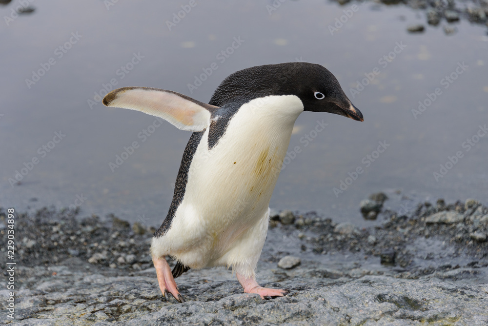 Adelie penguin going on beach in Antarctica