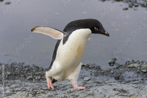 Adelie penguin going on beach in Antarctica