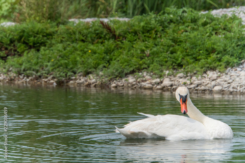 Single swan cleaning feathers in front of high contrast green reed as background and majestic appearance