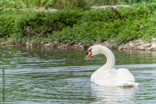 Foto op Aluminium Zwaan Single swan cleaning feathers in front of high contrast green reed as background and majestic appearance