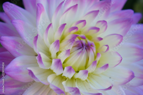 Purple white dahlia flower head close up