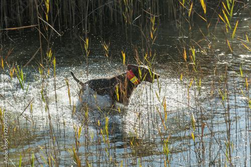 Jagdhund rennt durch Wasser