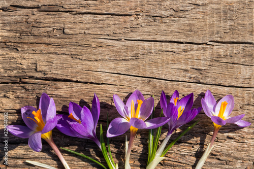 Purple crocus flowers on rustic wooden background