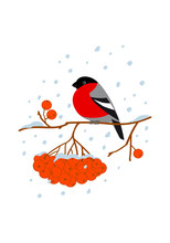 Color Graphic Flat Drawing With A Bush Of Winter Holly, Covered With Red Berries And Bullfinches, Sitting On The Branches. Vector Holiday Illustration Isolated On White Background.