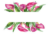 Banner with a pink calla lily Zantedeschia rehmannii flower. Watercolor hand drawn painting illustration isolated on a white background.