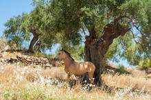 Horse Seeking A Shelter From Sun On A Very Hot Day Under An Olive Tree In Olive Orchard. Andalucia , Andalusia, Spain..