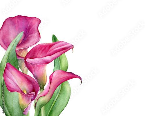 Obraz na plátně  Frame with colorful pink calla lily Zantedeschia rehmannii flower