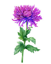 Branch With Purple Flowers Of Chrysanthemum Morifolium (also Known As Golden-daisy, Mums Or Chrysanths). Watercolor Hand Drawn Painting Illustration Isolated On A White Background.