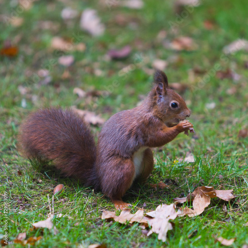 Garden Poster Squirrel Een eekhoorn knabbelt op een nootje