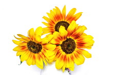 Bouquet Of Yellow Garden Decorative Sunflower On White Background. Isolated. Top View