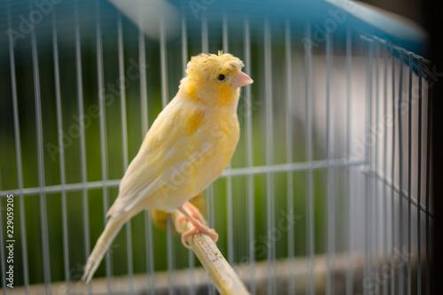 Fotografia  yellow canary in cage