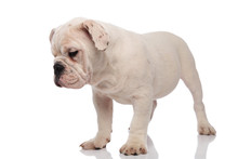 Curious White English Bulldog Stands And Looks Down To Side