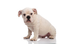 Side View Of Seated White English Bulldog Looking To Side