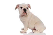 Side View Of Curious White English Bulldog Sitting
