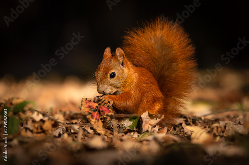 Fotomural  Cute squirrel in morning light