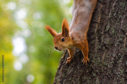 Squirrel on a tree looking at the lens