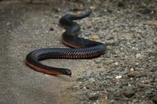 Red-bellied Black Snake - Pseu...