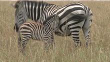 Zebra Baby Refused To Nurse By...