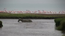 Zebras Cross A River With Flam...