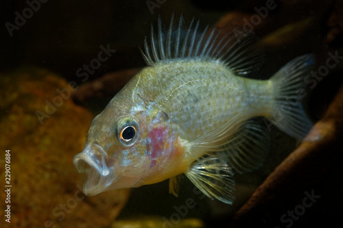 The pumpkinseed = Common Sunfish (Lepomis gibbosus) North American freshwater fish, sunfish family (Centrarchidae), pond perch, common sunfish, punkys, sunfish, sunny, and kivver.