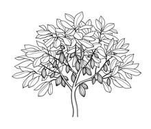 Cocoa Tree Ink Sketch.