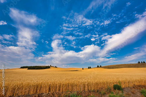 Fotobehang Cultuur wheat field and blue sky at Palouse, Washington