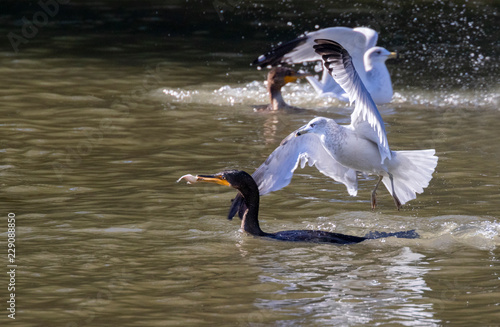 Fotografering  Ring-billed gulls (Larus delawarensis) chasing double-crested cormorants (Phalacrocorax auritus) in attempt to rob their prey, Iowa, USA