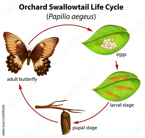 Orchard swallowtail life cycle Wallpaper Mural