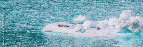 Fototapeta premium Alaska glacier bay portowe foki na górze lodowej pływające w pobliżu lodowców na błękitnym morzu. Statek wycieczkowy do Glacier Bay National Park widok panoramiczny banner. morska przyroda.