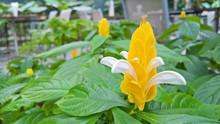 Golden Shrimp Plant (Pachystac...