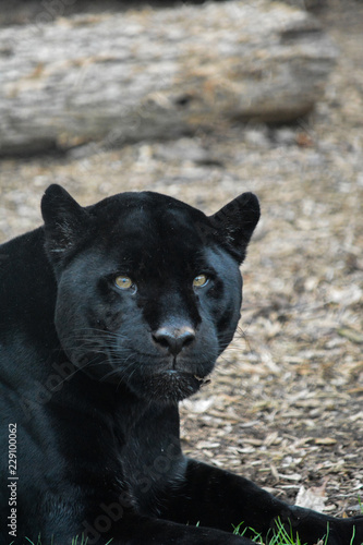 Photo Stands Panther Black jaguar lying down looking at you