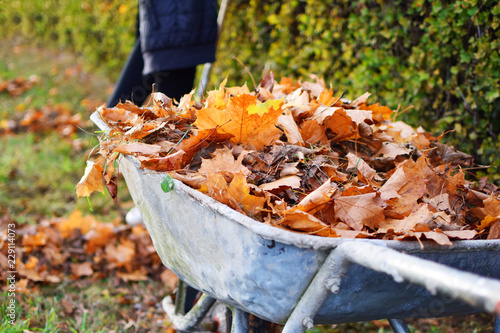 Fotomural  Autumn leaves in old wheelbarrow on green yard background in sunny autumn day