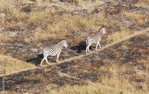 Zebra in the grassy nature, evening sun, aerial view